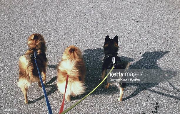 High Angle View Of Dogs Walking On Street
