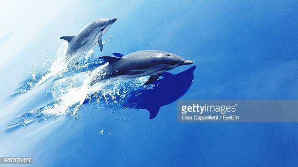 High Angle View Of Dolphins Jumping In Blue Sea