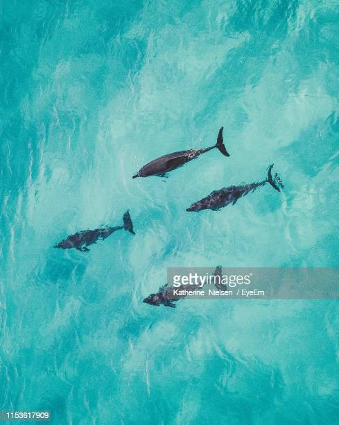 high angle view of dolphins swimming in sea - western australia stock-fotos und bilder