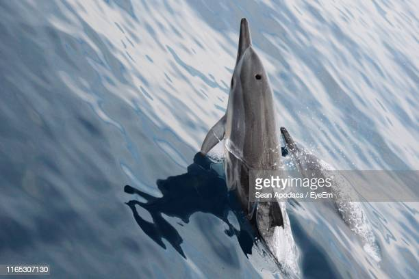high angle view of dolphins swimming in sea - taiwan stock photos and pictures