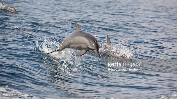 High Angle View Of Dolphins Swimming In Sea