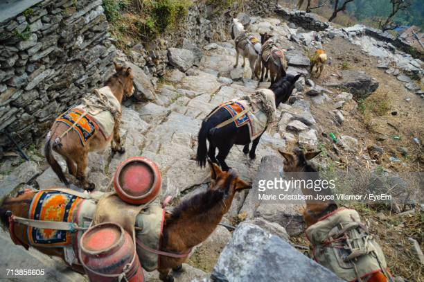 High Angle View Of Donkeys Moving Down On Steps