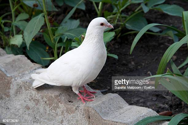 High Angle View Of Dove Perching On Retaining Wall Against Plants
