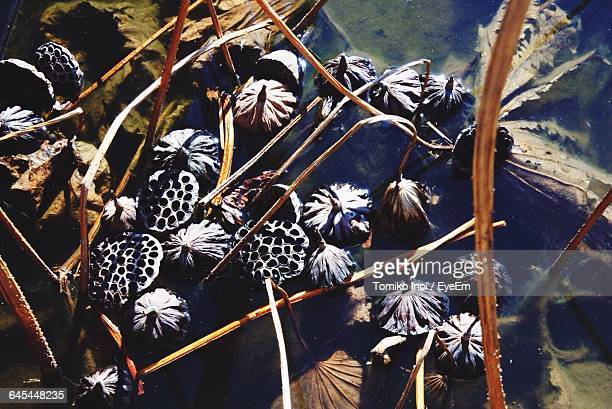 high angle view of dried lily pods in pond - tomiko inoi ストックフォトと画像