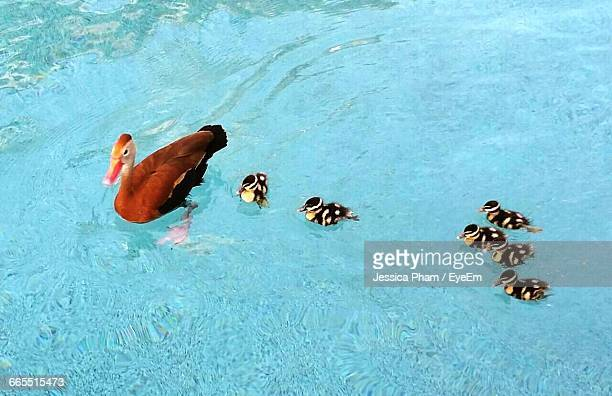 High Angle View Of Duck And Ducklings Swimming In Pond