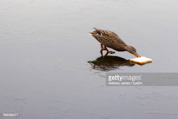 high angle view of duck eating bread - duck bird stock pictures, royalty-free photos & images