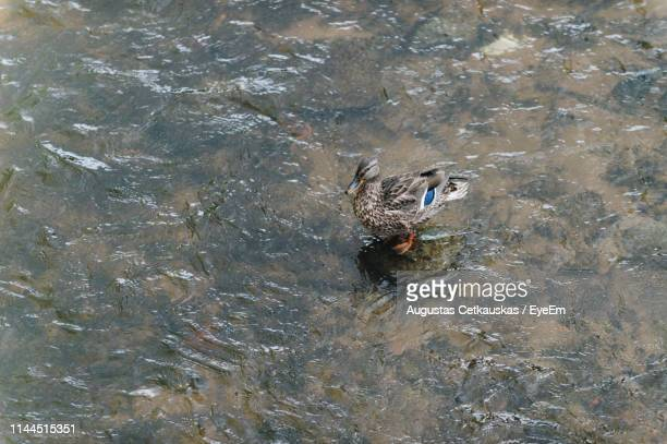 high angle view of duck perching in stream - cetkauskas stock pictures, royalty-free photos & images