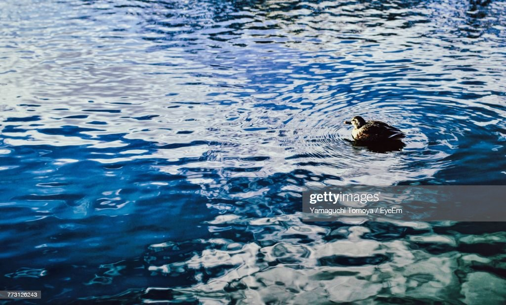 High Angle View Of Duck Swimming On Lake : Photo