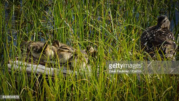 High Angle View Of Duck With Ducklings On Grassy Field