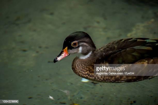 high angle view of duckling swimming in lake - cetkauskas stock pictures, royalty-free photos & images