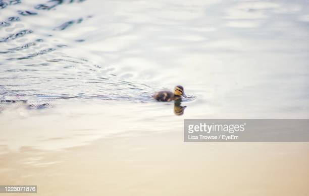 high angle view of duckling swimming - esher stock pictures, royalty-free photos & images
