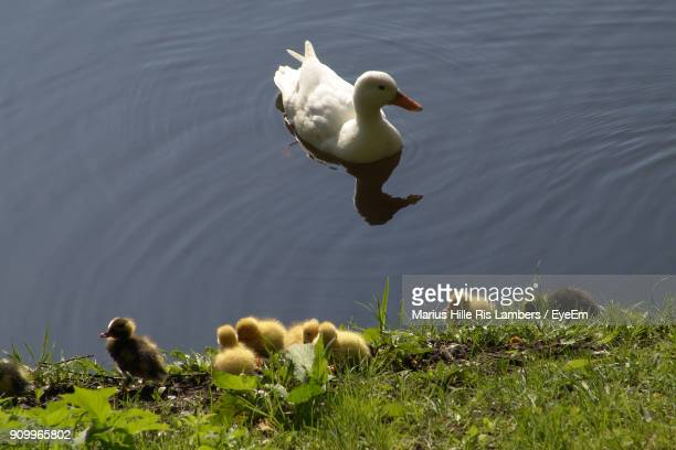 High Angle View Of Ducklings At Shore While Duck Swimming In Lake