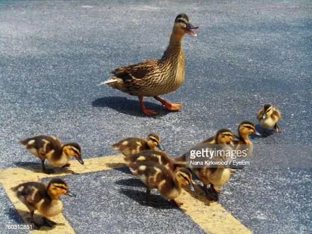 High Angle View Of Ducks On Concrete