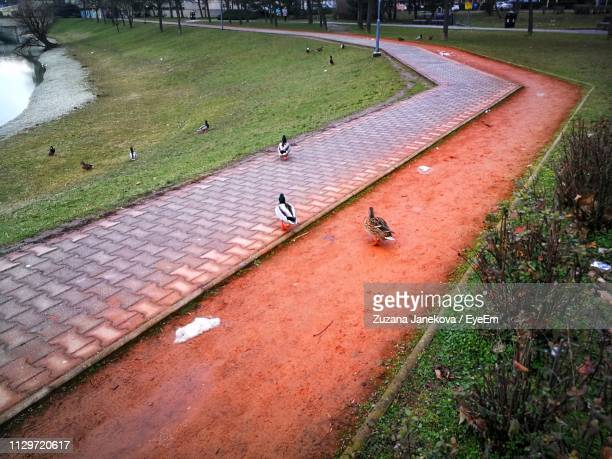 high angle view of ducks on grass - zuzana janekova stock pictures, royalty-free photos & images