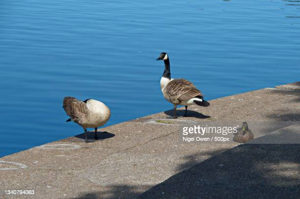 high angle view of ducks on retaining wall,roath park lake,cardiff,united kingdom,uk - nigel owen stock pictures, royalty-free photos & images