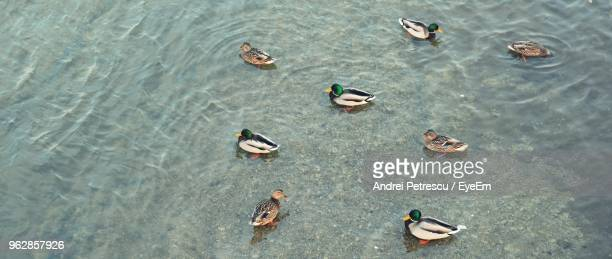 High Angle View Of Ducks Swimming In River