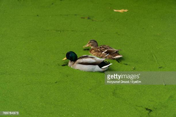 High Angle View Of Ducks Swimming On Swamp