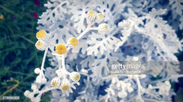 High Angle View Of Dusty Miller Flower Buds In Garden
