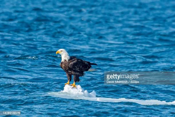 high angle view of eagle perching on sea,sarnia,ontario,canada - サルニア ストックフォトと画像