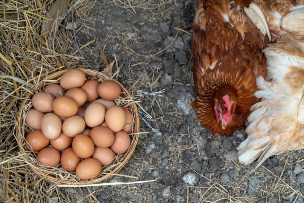 Egg Supply Business in Tanzania