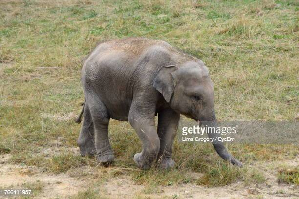 High Angle View Of Elephant On Grassy Field