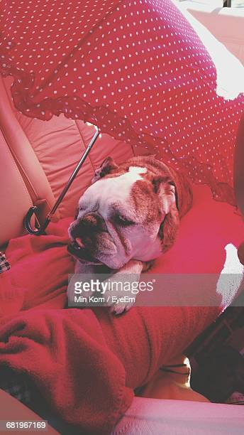 High Angle View Of English Bulldog Relaxing By Red Umbrella In Car