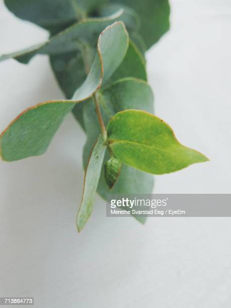 High Angle View Of Eucalyptus Plant On White Background