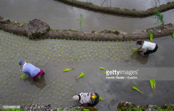 high angle view of farmers working at rice paddy - filipino farmer stock photos and pictures
