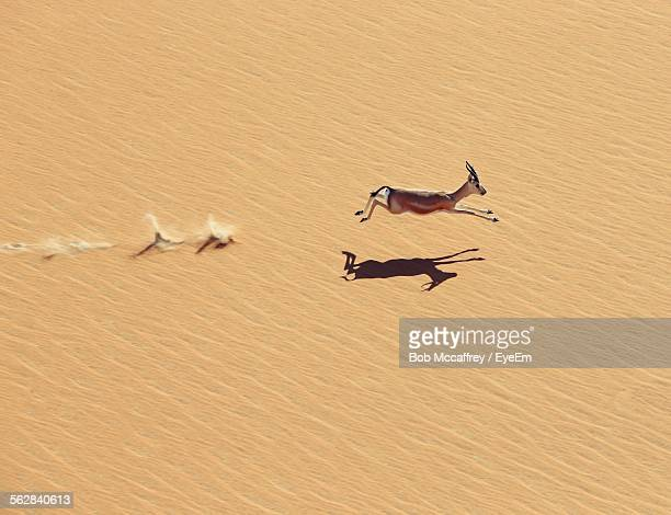 high angle view of fawn running in desert - flexibility stock pictures, royalty-free photos & images
