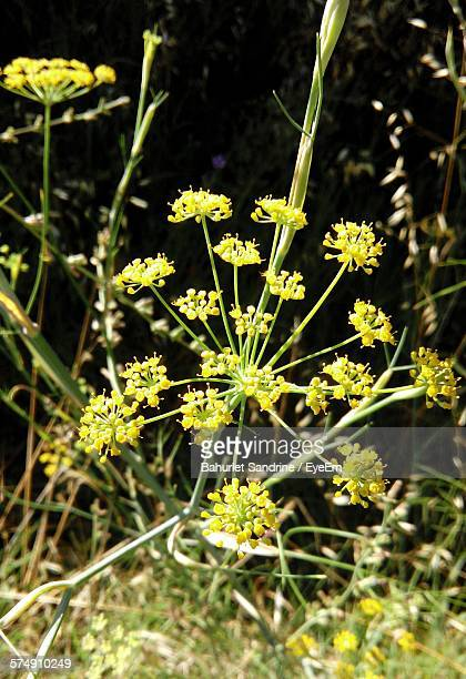 High Angle View Of Fennel Flowers Blooming Outdoors