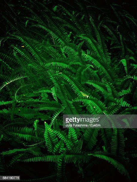 High Angle View Of Fern Growing In Forest