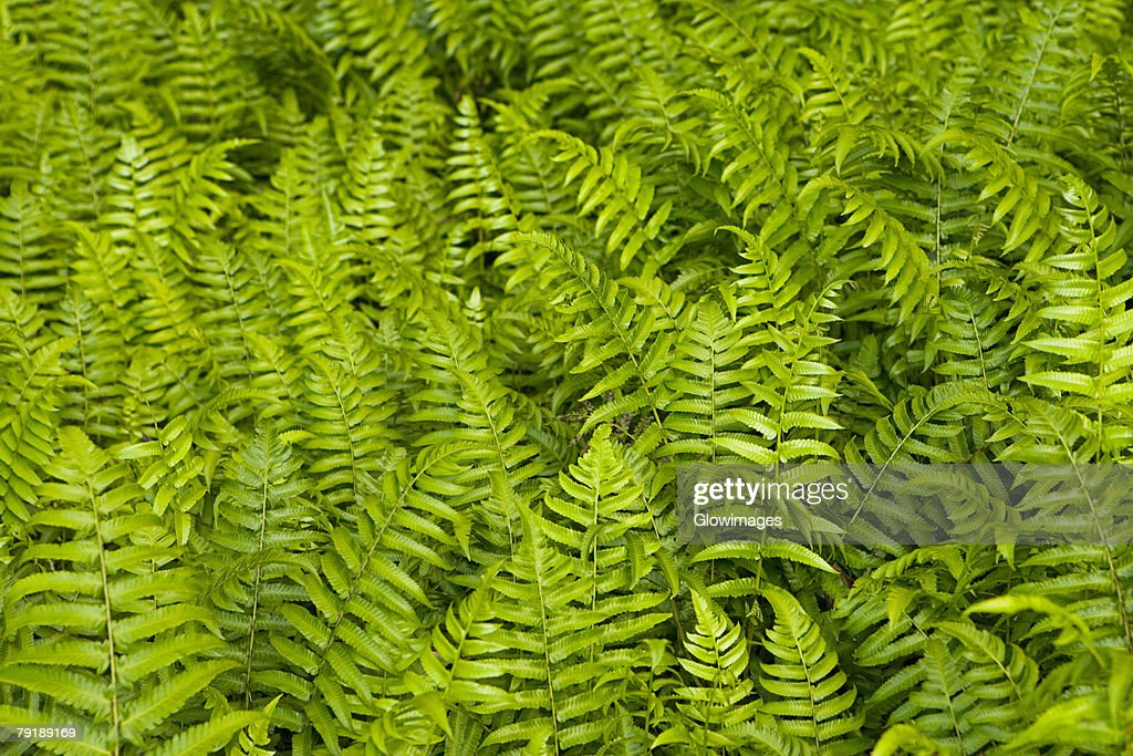 High angle view of ferns, Akaka Falls State Park, Big Island, Hawaii islands, USA : Foto de stock