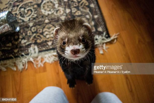 High Angle View Of Ferret Rearing Up At Home