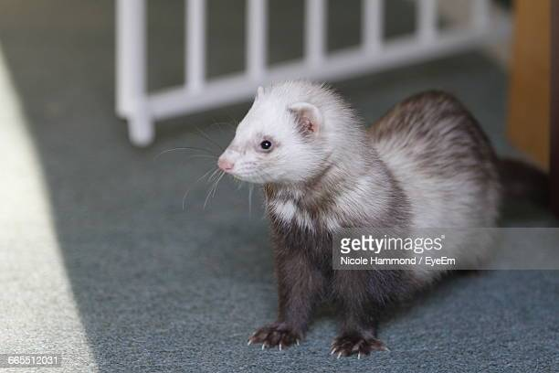 High Angle View Of Ferret Sitting On Ground