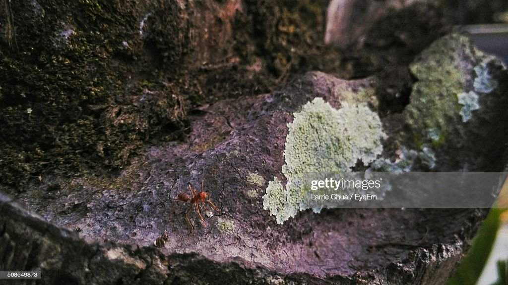 High Angle View Of Fire Ant On Tree Trunk : Stock Photo