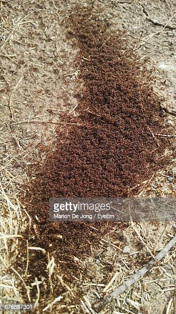 High Angle View Of Fire Ants On Field