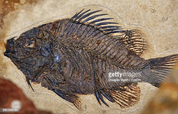 High Angle View Of Fish Fossil On Rock