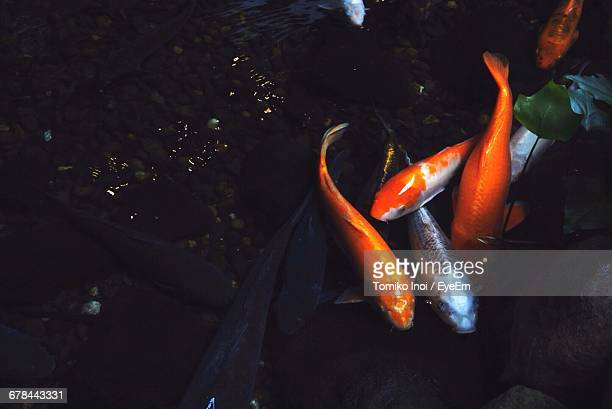 high angle view of fish swimming in pond - tomiko inoi ストックフォトと画像