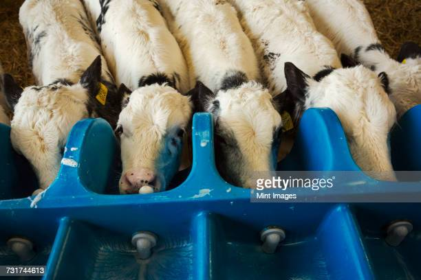 High angle view of five white calves drinking from a milk feeder.