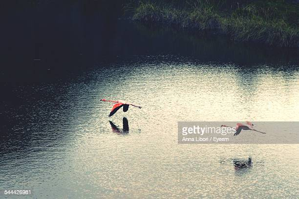 High Angle View Of Flamingoes Flying Over Lake