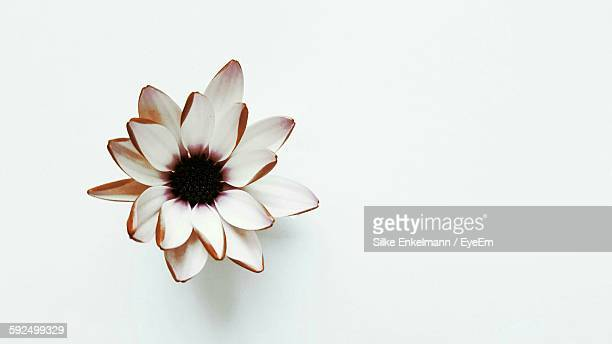 High Angle View Of Flower On White Background
