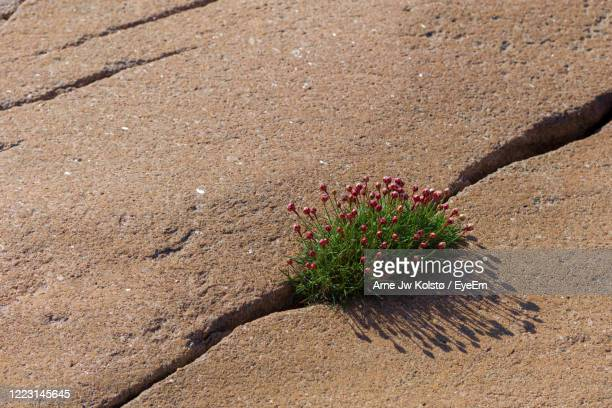 high angle view of flowering plant in a rock crevice - arne jw kolstø stock pictures, royalty-free photos & images