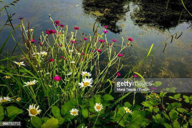 high angle view of flowering plants by lake - maria tejada stock pictures, royalty-free photos & images