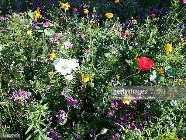 High Angle View Of Flowers Blooming In Field