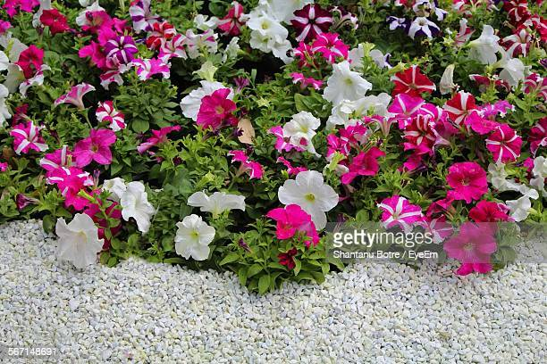 High Angle View Of Flowers Blooming In Park