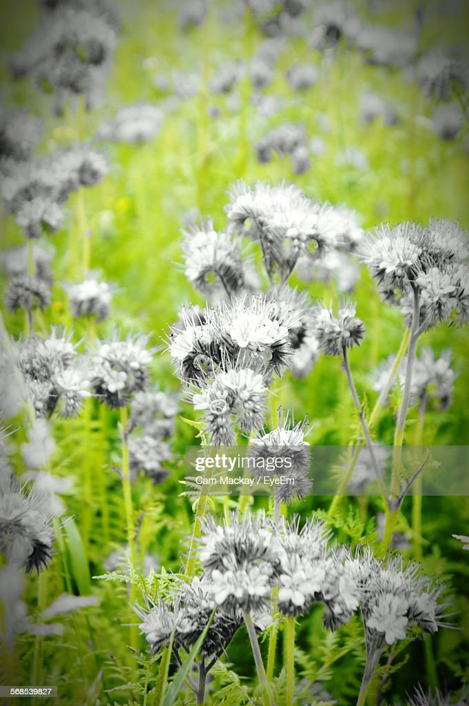 High Angle View Of Flowers Blooming On Field : Stock Photo