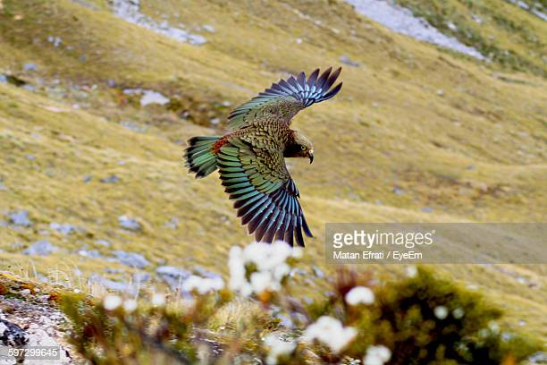 High Angle View Of Flying Kea Over Landscape