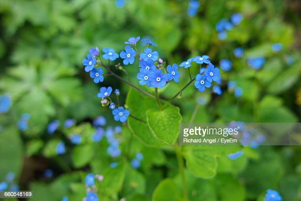 High Angle View Of Forget-Me-Not Blooming Outdoors