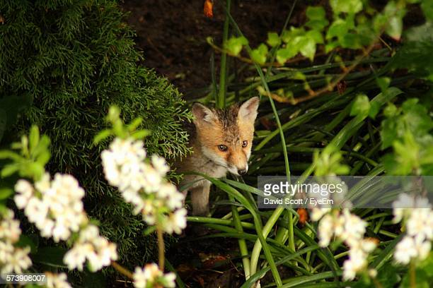 High Angle View Of Fox Amidst Plants In Forest