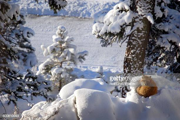 High Angle View Of Fox Sitting On Snow Covered Hill